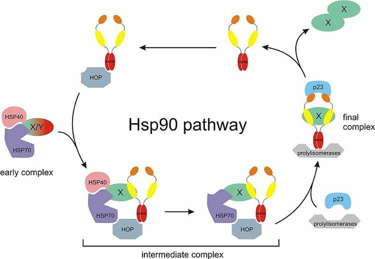 This image shows the Hsp90 chaperone cycle.