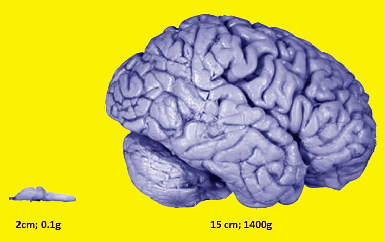 This shows a frog and human brain.