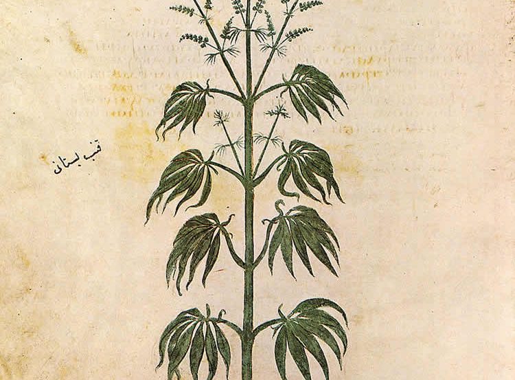 This image is a drawing of a cannabis plant.