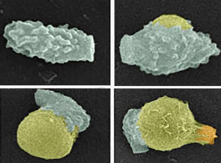 This shows how the fungal spores germinate to yeast.