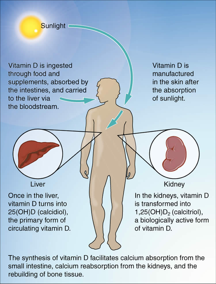 This diagram explains the synthesis of Vitamin D.