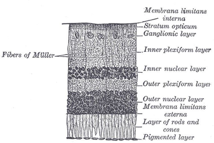 This is a drawing of a section of the retina.