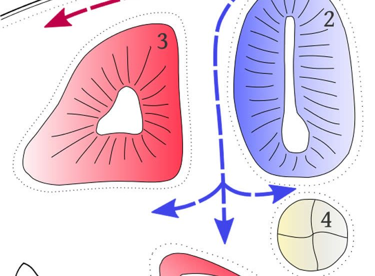This is a diagram of a neural crest and neural tube.