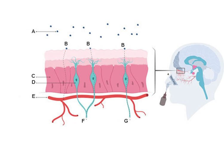 This illustration shows that oxytocin can reach the brain in two ways.