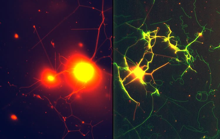 This image shows the nanotube neuron structures.
