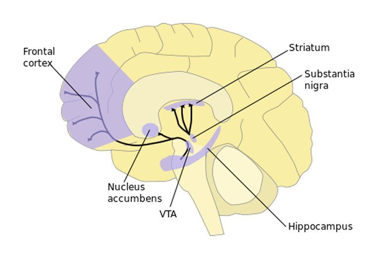 Image shows the dopamine pathway in the brain with the striatum highlighted.