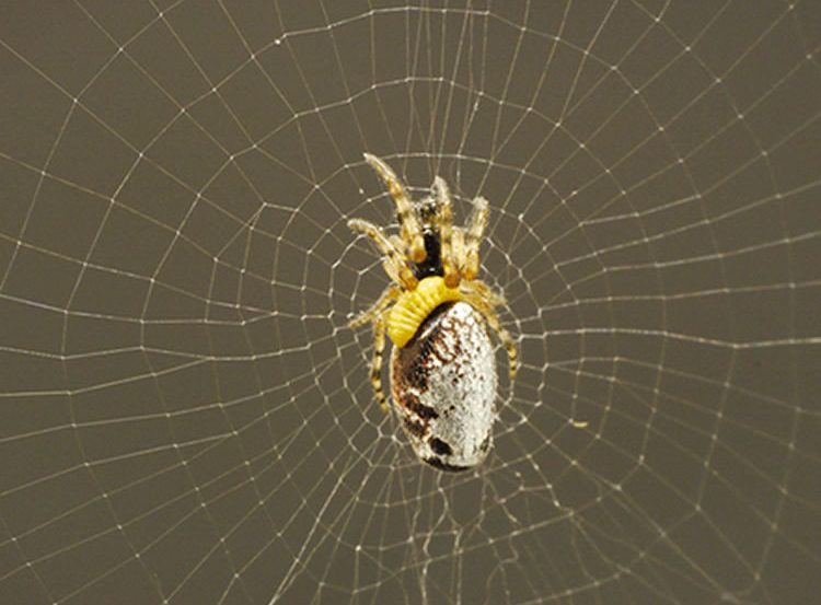 This image shows a parasitised spider on an orb web.