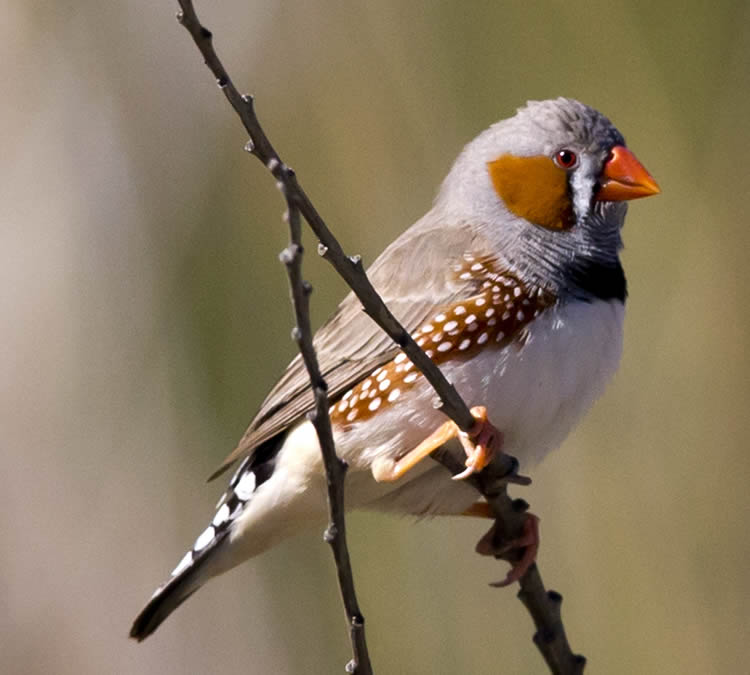 This shows a male zebra finch.