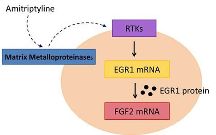 Diagram of the treatment of primary cultured astrocytes with amitriptyline activates matrix metalloproteinases.