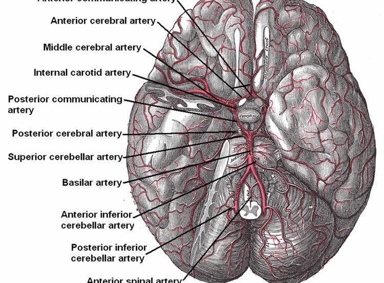 Diagram of the brain with the arteries labeled.