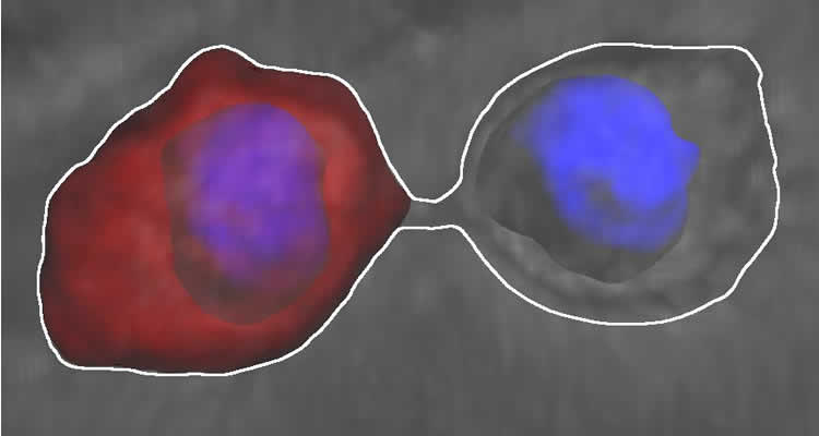 Image shows the stem cells surrounded by the diffusion barrier.