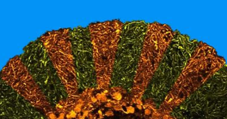 Image shows purkinje cells in a zebrafish cerebellum.