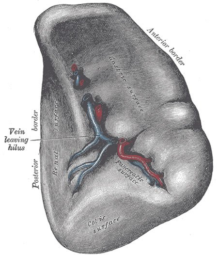 Diagram of the spleen.