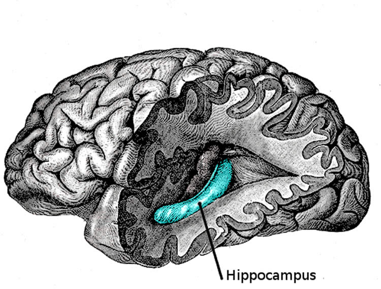 Drawing of a brain with the hippocampus highlighted.