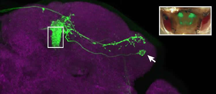 Image of mushroom body output neurons.