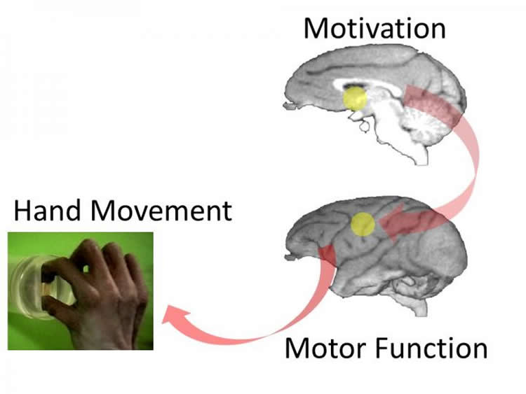 Diagram of the brain with NA highlighted and a picture of a hand grasping a lid.