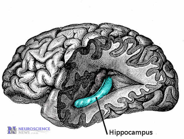 Diagram of the hippocampus in the human brain.