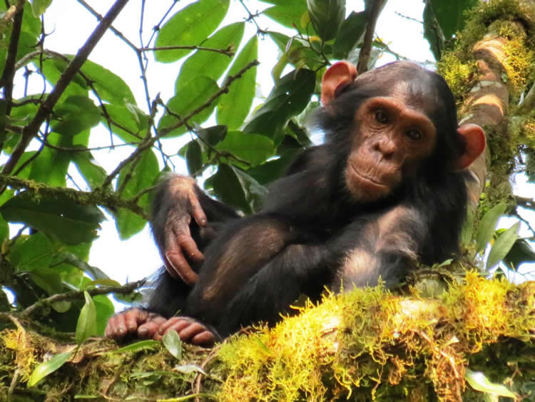 Image of a young chimp.