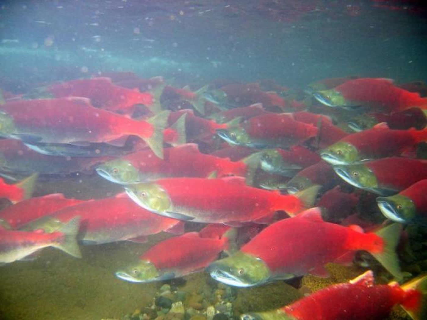 Image shows red salmon swimming in a murky lake.