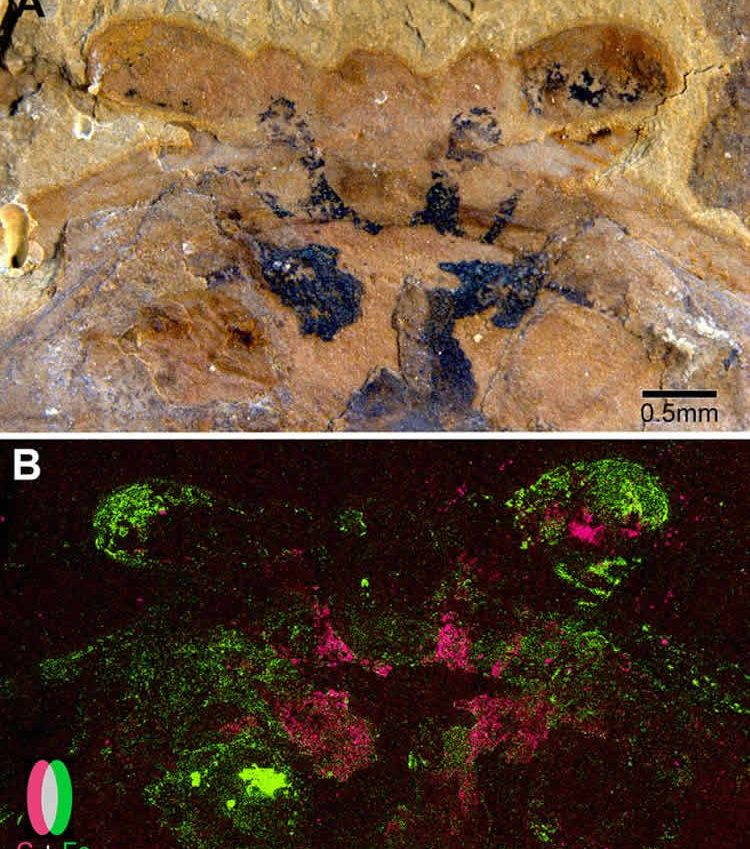 Image shows the fossilized brain.