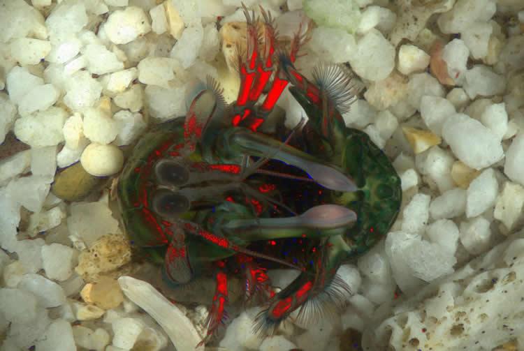 This image shows a mantis shrimp.
