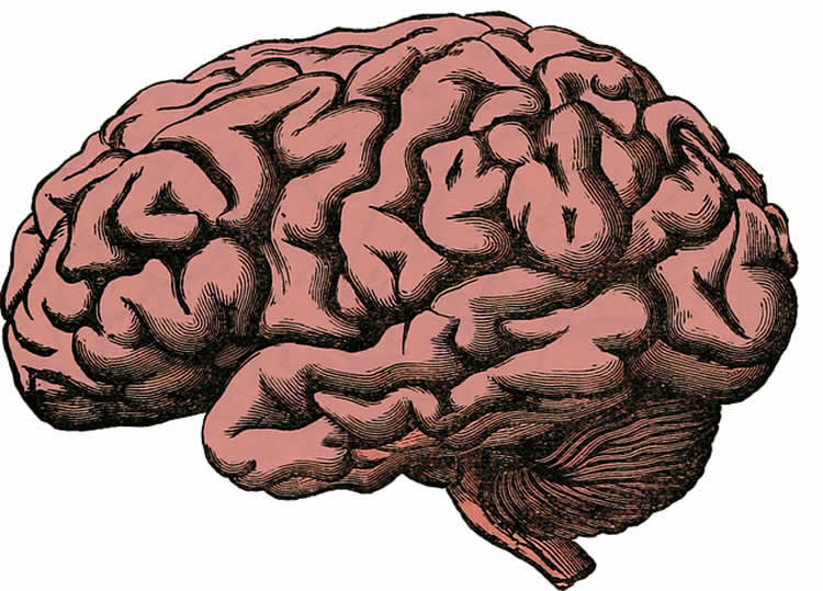 Drawing of a human brain.