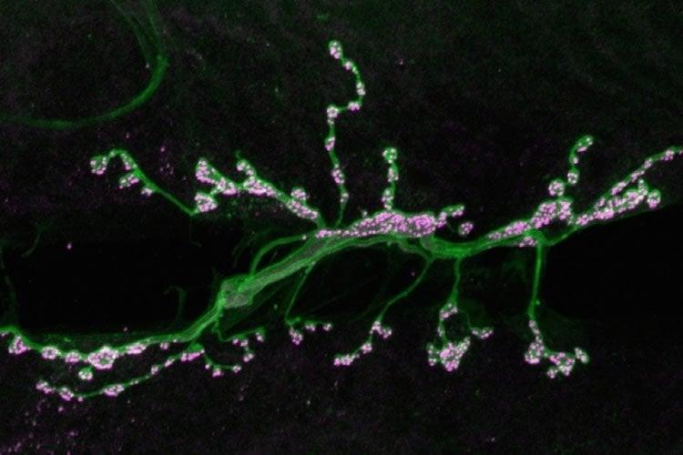 Image of motor neuron synapses.