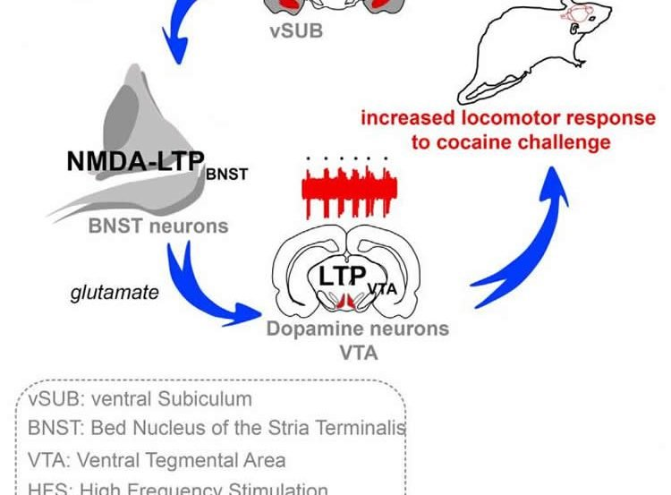 Illustration depicts discovery that the ventral subiculum alters the excitability of dopamine neurons in vivo via a relay within the bed nucleus of the stria terminalis.