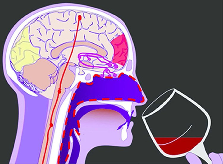 Diagram of a person drinking wine with the brain exposed.