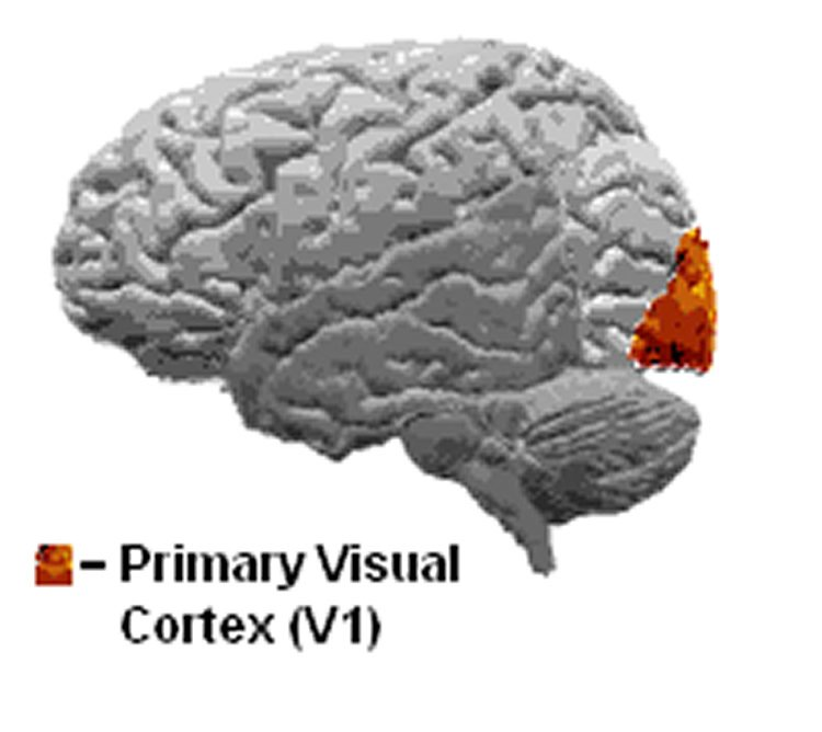 Image shows the location of the primary visual cortex in the brain.