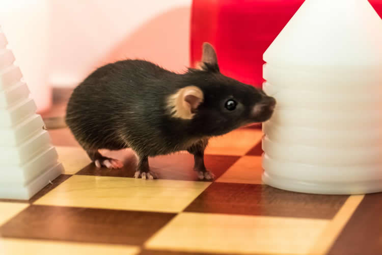Image of a rat on a chess board.