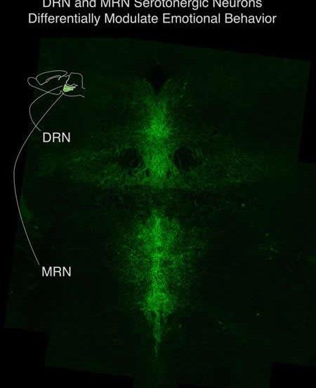 Image shows serotonin neurons.
