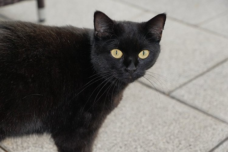 Image of a black cat.