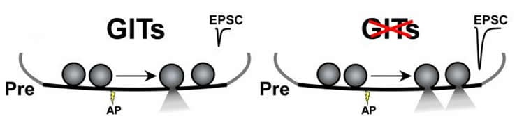 Illustration shows presynaptic deletion of the two G-protein-coupled receptor kinase-interacting proteins.