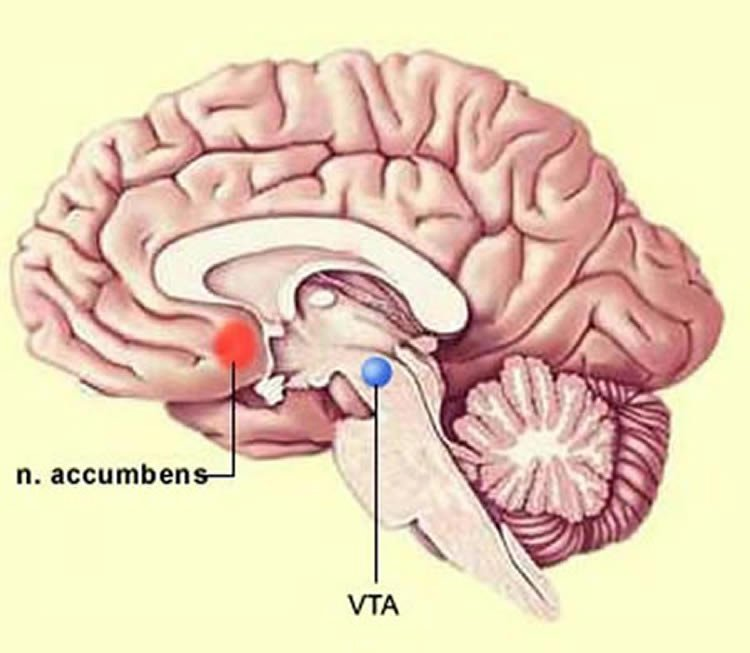 Diagram shows the location of the nucleus accumbens in the brain.