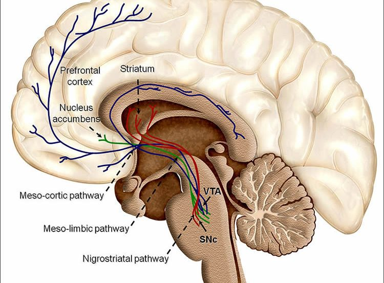 Diagram of the dopamine pathway in the brain.