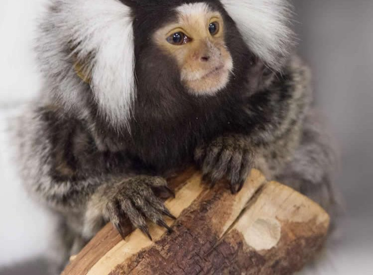 This is a photograph of a marmoset monkey.
