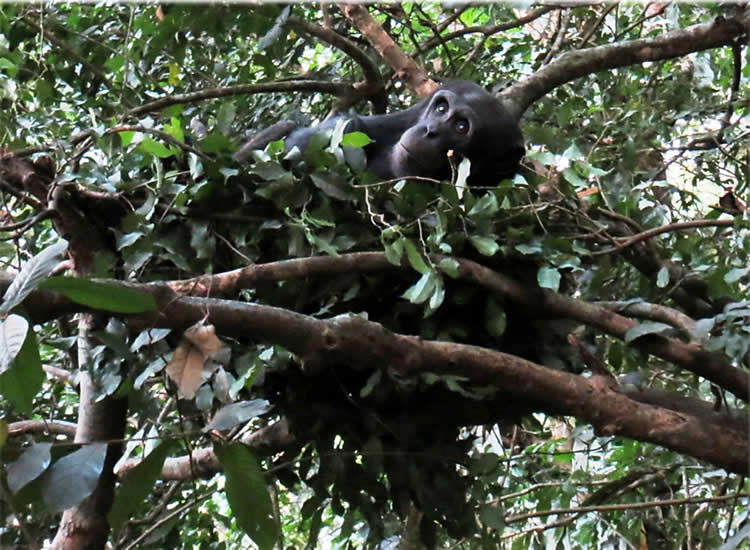 Photo of chimps in a tree.