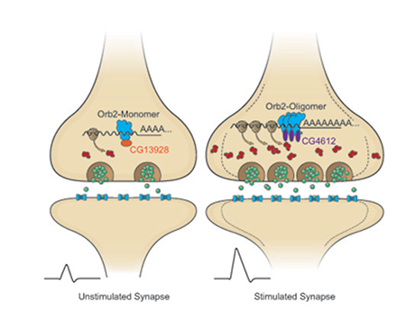 Illustration of synapses.