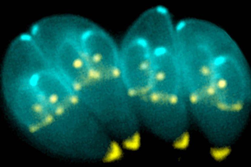 Image shows dividing T. gondii parasites.