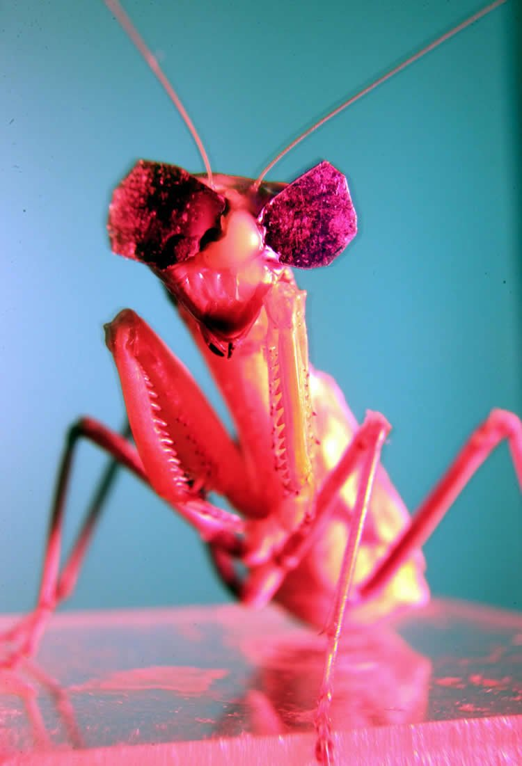 Image shows one cool, 3D glasses wearing mantis.