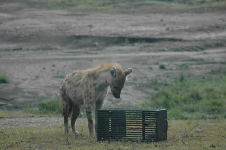 Image shows a spotted hyena and puzzle box.
