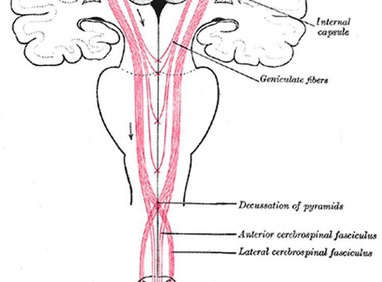 Diagram of motor neurons in spinal cord.