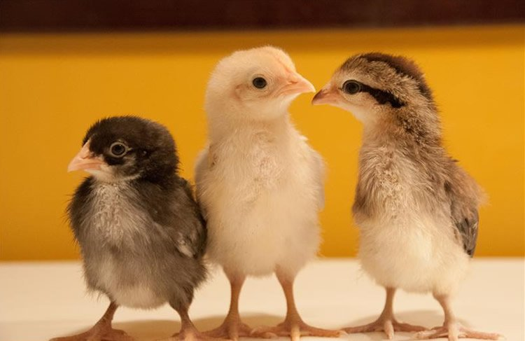 Image shows three little chicks.