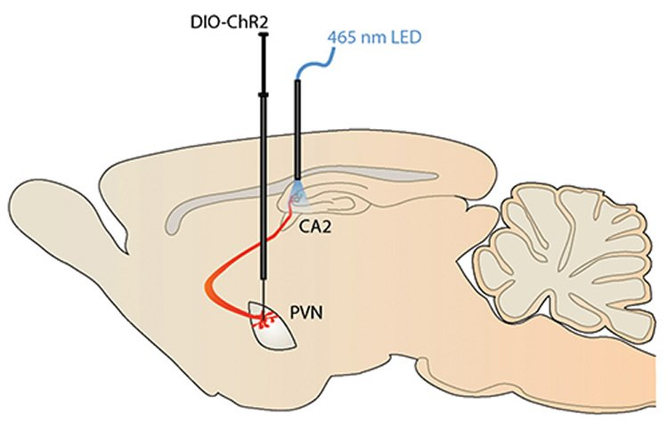 Drawing shows how researchers used optogenetics to stimulate the hippocampus.