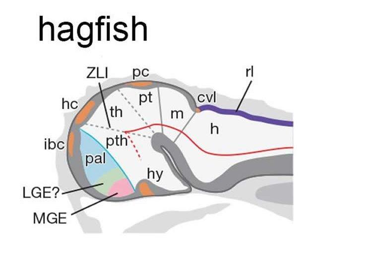 Image shows lamprey and hagfish heads.