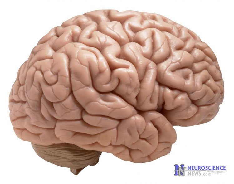Image shows a brain model.