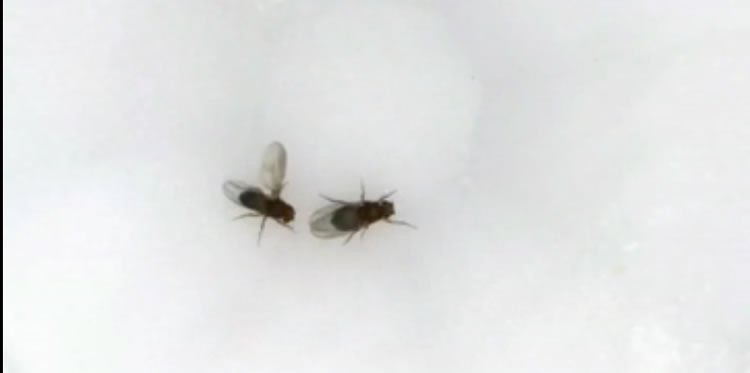 Image shows two flies.