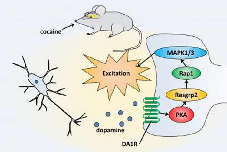 Diagram outlines the dopamine reward pathway in mice.
