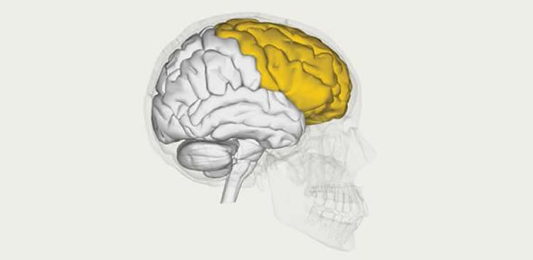 Image shows a brain with the frontal lobe highlighted in yellow.
